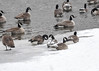 "<div class=""jaDesc""> <h4>Canada Geese Relaxing - December 30, 2017 </h4> <p>The Geese with the most snow on their backs had been resting the longest.  Susquehanna River, Nichols, NY</p> </div>"