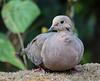 """<div class=""""jaDesc""""> <h4> Mourning Dove Resting - August 31, 2018 </h4> <p></p> </div>"""