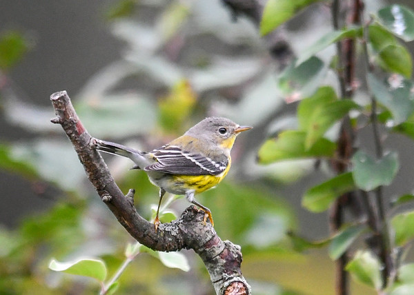 """<div class=""""jaDesc""""> <h4> Female Magnolia Warbler - Right Side View - September 14, 2019 </h4> <p>She was feeding on bugs in the bushes and trees.</p></div>"""