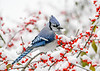 "<div class=""jaDesc""> <h4>Blue Jay - Contemplating Winterberries - November 8 2019</h4> <p></p></div>"