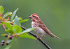 """<div class=""""jaDesc""""> <h4>Immature Female Purple Finch - July 17, 2018</h4> <p>I think this is a female.  Sometimes they have a mixture of male and female coloring just to confuse everyone.</p></div>"""
