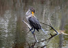 """<div class=""""jaDesc""""> <h4> Immature Cormorant Grooming #1- October 23, 2017</h4> <p>This young Cormorant spent 15 minutes meticulously grooming all of her wing feathers. Chincoteague NWR, VA</p> </div>"""
