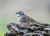 "<div class=""jaDesc""> <h4>White-throated Sparrow on Perch - October 23, 2018 </h4> <p>This White-throated Sparrow posed nicely for me while taking a break from feeding.</p></div>"