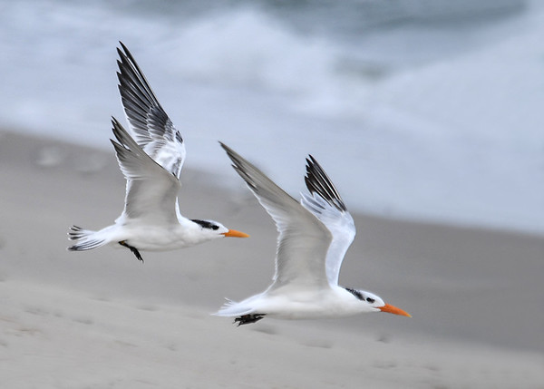 "<div class=""jaDesc""> <h4>Immature Royal Terns Headed Along the Surf - October 23, 2017 </h4> <p></p> </div>"