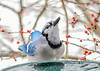 """<div class=""""jaDesc""""> <h4>Blue Jay Gravity Assisted Swallow - January 18, 2020</h4> <p></p></div>"""