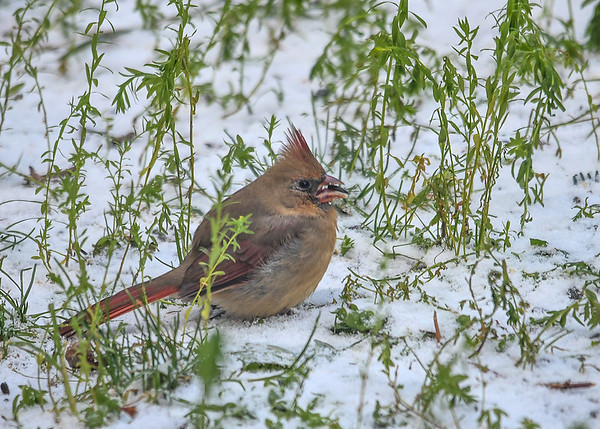 """<div class=""""jaDesc""""> <h4>Immature Female Cardinal in First Snow - November 10, 2017</h4> <p>This immature female Cardinal (beak still light with black in it) was happily ground feeding on sun flower seeds during our first snow of the fall.</p> </div>"""