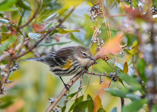 """<div class=""""jaDesc""""> <h4> Yellow-rumped Warbler in Bayberry Bush - November 8, 2018</h4> <p> There were hundreds of Yellow-rumped Warblers in winter plumage at the Chincoteague Wildlife Refuge, VA.  They were feeding on Bayberries that are plentiful all along the coast.</p> </div>"""
