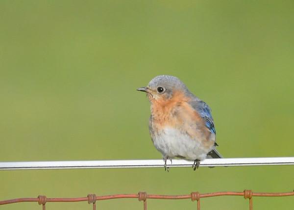 "<div class=""jaDesc""> <h4>Female Bluebird Resting - May 19, 2020</h4> <p></p> </div>"