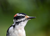 "<div class=""jaDesc""> <h4>Adult Male Hairy Woodpecker Close-up - August 13, 2017</h4> <p>One of our male Hairy Woodpeckers visited my portrait studio for a close-up shot.</p></div>"