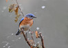 "<div class=""jaDesc""> <h4>Male Bluebird in Blowing Snow - November 22, 2017</h4> <p>The male and female visited our back yard numerous times during the day.  Here is the male during one of the snow squalls.</p> </div>"