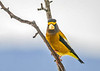 """<div class=""""jaDesc""""> <h4>Male Evening Grosbeak Looking at Me - Dec 12, 2018</h4> <p>He has a kind of stern looking stare, like what are you doing here?  You can see why the are called grosbeaks.</p> </div>"""