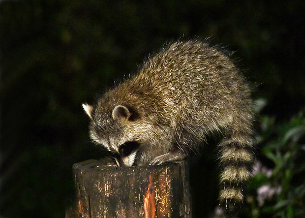 """<div class=""""jaDesc""""> <h4>Young Raccoon at Feeder Log - August 22, 2017</h4> <p>Mom Raccoon and her three youngsters are now nightly visitors.  This young raccoon is eating shelled peanuts I tossed into a hole in the top of this log.</p> </div>"""