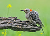 """<div class=""""jaDesc""""> <h4>Juvenile Red-bellied Woodpecker Protecting Log - July 17, 2018</h4> <p>The Dove left, but she remained in her guarding posture to discourage other intruders.  Pretty feisty young gal.</p> </div>"""