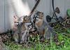 "<div class=""jaDesc""> <h4>Gray Fox Kit Yawning - June 7, 2018 </h4> <p>Nice big yawn by one of the Gray Fox kits.</p> </div>"