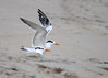 "<div class=""jaDesc""> <h4>Immature Royal Terns Ready for Take-off - October 23, 2017 </h4> <p>There was a lady with her dog approaching these two Royal Terns, so they were getting ready to take-off. Chincoteague National Wildlife Preserve</p> </div>"