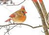 "<div class=""jaDesc""> <h4>Female Cardinal in Winterberry Bush - Jan 18, 2020</h4> <p></p> </div>"