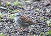 "<div class=""jaDesc""> <h4>White-throated Sparrow Watching for Predator Hawks - April 29, 2019</h4> <p> </p></div>"