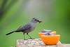 "<div class=""jaDesc""> <h4>Catbird Grabs More Jelly - May 4, 2019</h4> <p></p></div>"