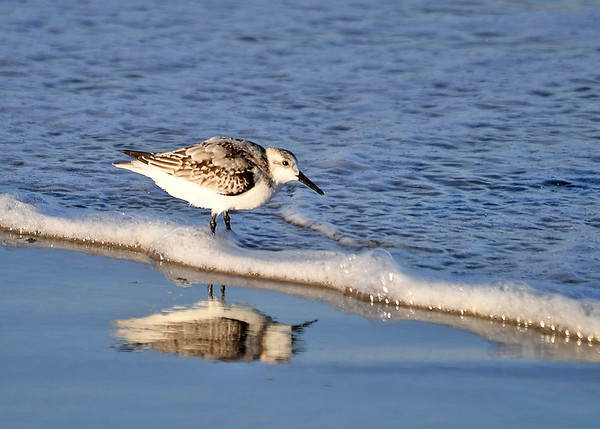 """<div class=""""jaDesc""""> <h4>Sanderling in Bubbly Surf - October 23, 2017</h4> <p>I had to work at getting one of these little speedsters in the surf.  Usually they race away from the approaching water. Chincoteague Island, VA</p> </div>"""