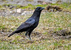 "<div class=""jaDesc""> <h4>Crow Looking for Seed - March 18 2020</h4> <p></p>  </div>"