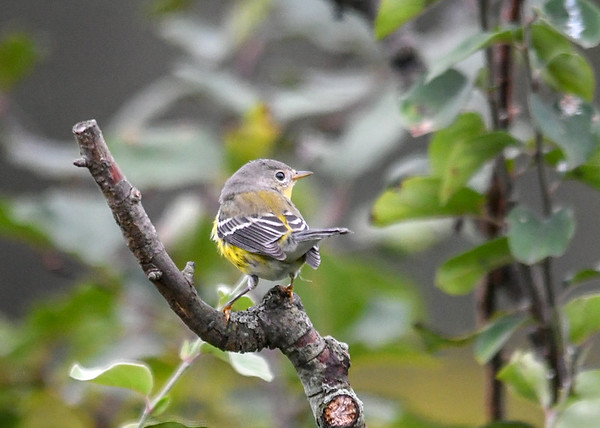 """<div class=""""jaDesc""""> <h4> Female Magnolia Warbler - Back View - September 14, 2019 </h4> <p>She did not seem to be traveling with any other birds.</p></div>"""