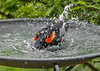 """<div class=""""jaDesc""""> <h4>Red-winged Blackbird Full Body Wash - June 9, 2018</h4> <p>I refill 4 birdbaths daily with all the water that gets splashed out. </p></div>"""