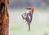 "<div class=""jaDesc""> <h4>Male Red-bellied Woodpecker with Landing Gear Down - May 25, 2017</h4> <p>His claws are in position to grab the wood.  Camera was firing at 12 shots per second.</p> </div>"