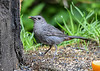 """<div class=""""jaDesc""""> <h4>Male Catbird Eating Peanut Butter Suet - August 19, 2018</h4> <p>Dad is going for peanut butter suet today.  Notice the red patch under his tail.</p> </div>"""