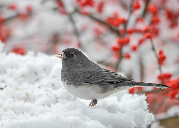"<div class=""jaDesc""> <h4>Junco in Snow - December 12, 2017</h4> <p>We are now up to our usual winter count of about 12-16 Juncos.  Notice how the gray feathers come part way down the legs for extra warmth.</p> </div>"