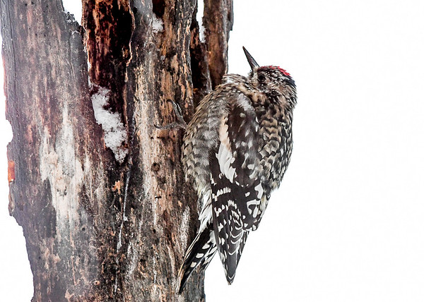 """<div class=""""jaDesc""""> <h4> Immature Female Yellow-bellied Sapsucker - Dec 20, 2020  </h4> <p> Once she grabbed a berry, she always flew to the suit log, jammed it in a crack, and then pecked away at it.  Notice the little red spot inside the hole.</p> </div>"""