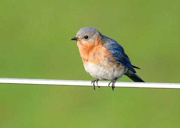 "<div class=""jaDesc""> <h4>Female Bluebird Taking Break from Sitting on Eggs - May 19, 2020</h4> <p></p> </div>"