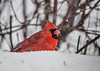 "<div class=""jaDesc""> <h4>Male Cardinal with Snow on Face - March 14, 2017</h4> <p>High winds and blowing snow was not fazing our male Cardinal.</p> </div>"