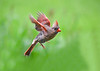 """<div class=""""jaDesc""""> <h4>Female Cardinal Inbound to Feeder Area - August 21, 2018</h4> <p>You really see how much red she has on her wings when she is in-flight. </p> </div>"""