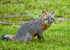 "<div class=""jaDesc""> <h4>Female Gray Fox Watching Blue Jays - June 16, 2019</h4> <p>Whenever the Blue Jays made some noise, she would look up from eating.</p> </div>"