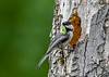 """<div class=""""jaDesc""""> <h4>Chickadee with Juicy Caterpillar - June 3, 2018 </h4> <p>My guess is that caterpillar was enough for several chicks.  Chickadees usually have 5 to 8 chicks.</p> </div>"""
