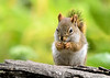"""<div class=""""jaDesc""""> <h4> Red Squirrel Eating Peanut - July 17, 2018</h4> <p>We have four Red Squirrels that hang around all day playing and snacking.</p> </div>"""