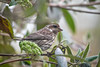 "<div class=""jaDesc""> <h4>Female Purple Finch Hiding in Viburnum Bush  - April 20, 2017</h4> <p>Our dense Viburnum Bush provides good cover for the small song birds.  This female Purple Finch's feathers have a dull grayish brown look when she is in the shade.</p></div>"