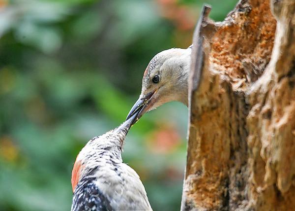 "<div class=""jaDesc""> <h4>Mother Red-bellied Woodpecker Feeding Daughter - September 15, 2019</h4> <p></p> </div>"