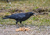 "<div class=""jaDesc""> <h4>Crow with Chunk of Left-over Oatmeal - March 18 2020</h4> <p></p>  </div>"