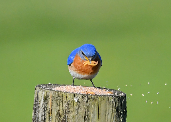 """<div class=""""jaDesc""""> <h4>Male Bluebird Picking Up Mealworms - May 19, 2020</h4> <p></p> </div>"""