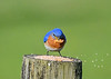 "<div class=""jaDesc""> <h4>Male Bluebird Picking Up Mealworms - May 19, 2020</h4> <p></p> </div>"