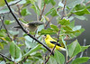 """<div class=""""jaDesc""""> <h4>Dad Goldfinch Arrives with Food - September 2, 2019</h4> <p>She knew that Dad was nearby collecting food. </p></div>"""