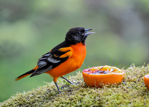 """<div class=""""jaDesc""""> <h4>Adult Male Baltimore Oriole - May 2, 2017</h4> <p>I always have oranges and grape jelly ready for when the Baltimore Orioles arrive.  Today a family of three arrived together.</p> </div>"""