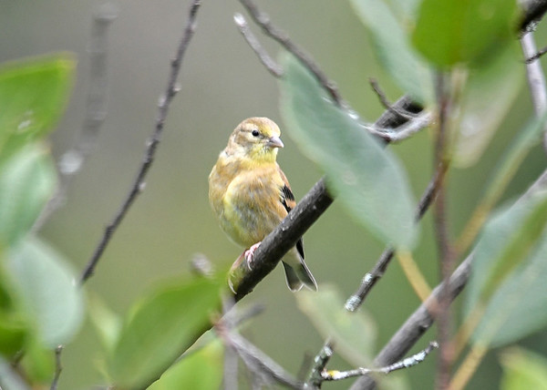 """<div class=""""jaDesc""""> <h4>Juvenile Goldfinch Happily Fed - September 2, 2019</h4> <p>She was content to be on her own again after being fed. </p></div>"""