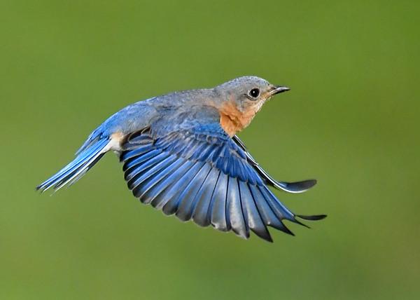"<div class=""jaDesc""> <h4>Female Bluebird In-Flight - May 19, 2020</h4> <p>Headed back to Nest Box.</p> </div>"