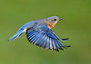 "<div class=""jaDesc""> <h4>Female Bluebird In-Flight - May 19, 2020</h4> <p>Headed back to Nest Box.</p> </div>"