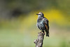 """<div class=""""jaDesc""""> <h4> Starling in Winter Plumage - September 20, 2017</h4> <p>Most of our Starlings have molted to their winter plumage, flocked up and headed south.</p> </div>"""