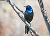 "<div class=""jaDesc""> <h4>Grackle - Looking Pretty - March 27, 2020</h4> <p>Different light, different color.</p></div>"