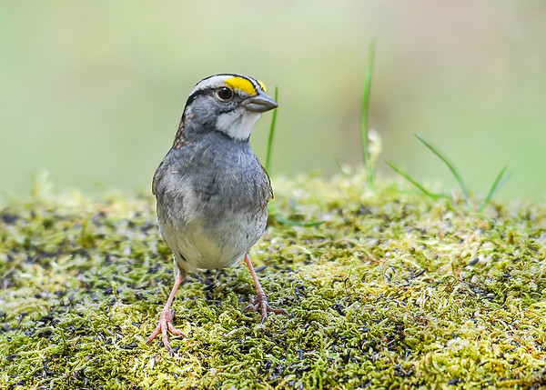 "<div class=""jaDesc""> <h4>White-throated Sparrow Front Pose - April 27, 2017 </h4> <p>She was checking out my telephoto lens.</p></div>"