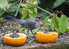 """<div class=""""jaDesc""""> <h4>Juvenile Catbird Expressing Satisfaction - August 19, 2018</h4> <p>After the first sample, he was all in!</p> </div>"""